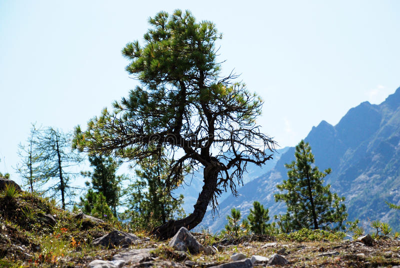 Кедр, роса, дерево, Россия, Байкал, Алтай, путешествие стоковые фотографии rf