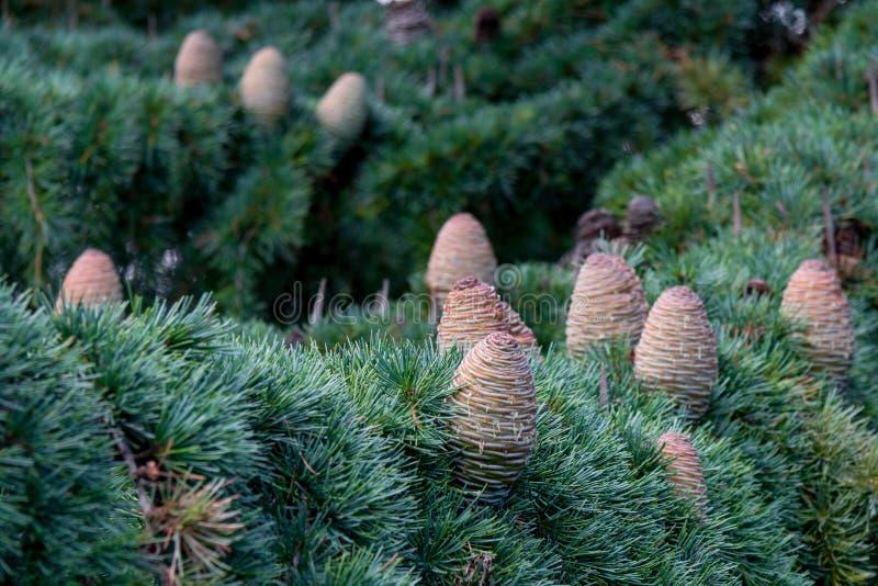 Кедр - pinecone стоковая фотография rf