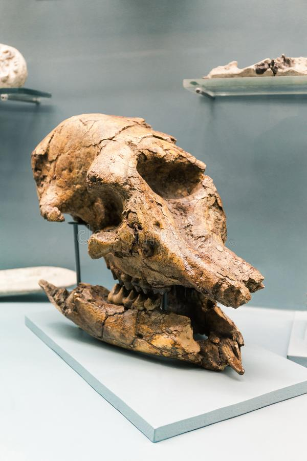 КИЕВ, УКРАИНА - 16-ОЕ ИЮНЯ 2018: Национальный музей естественных наук Украины Ископаемый череп, скелет динозавра Гигантское доист стоковое фото