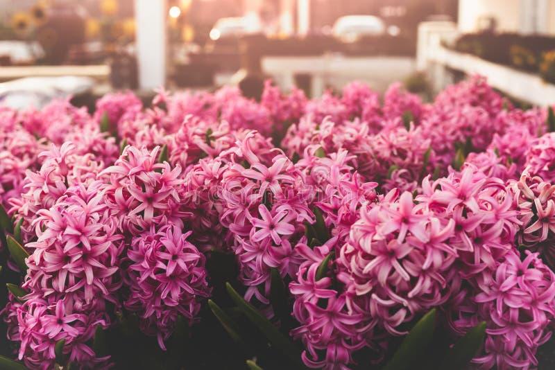 Кинематографический пинк цветет предпосылка с солнечным светом в саде стоковые изображения