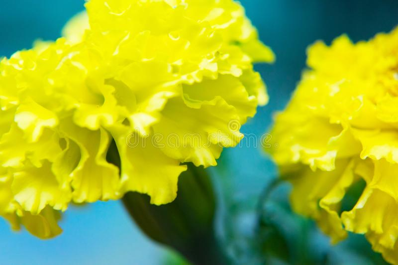 Киносъемка макроса желтой гвоздики стоковые фотографии rf