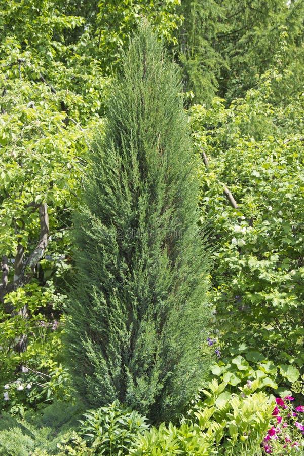 Кипарис род вечнозеленых деревьев и кустарников семьи Cypress с pyramidal или распространяя кроной стоковое изображение rf