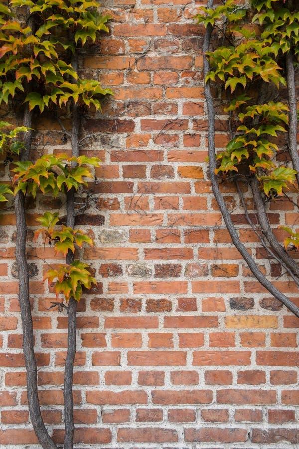 Кирпичная стена покрыта с листьями виноградины осени стоковые изображения rf