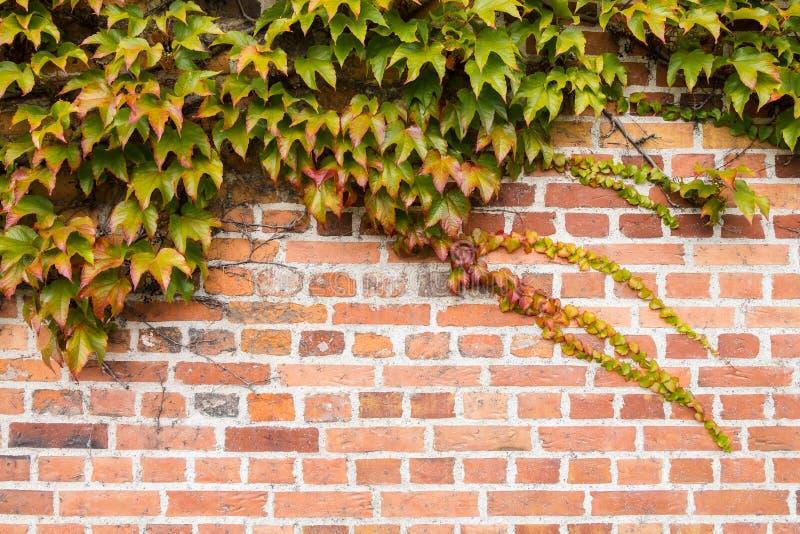 Кирпичная стена покрыта с листьями виноградины осени стоковое фото