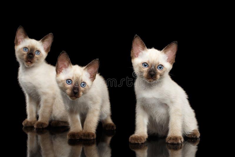 Киска Меконга Bobtail с голубыми глазами на черной предпосылке стоковые изображения rf