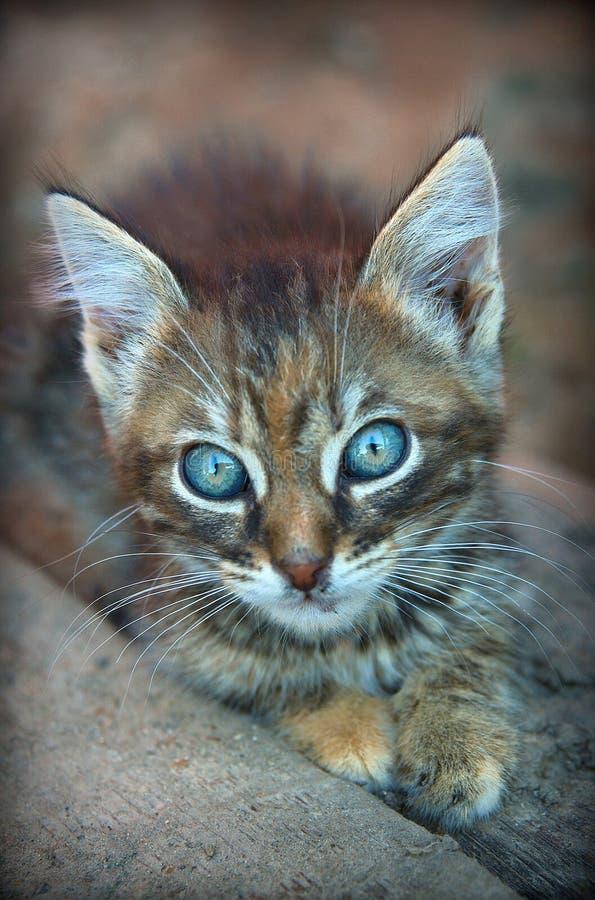Киска серого взгляда котенка котенка маленькая стоковые фотографии rf