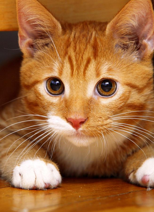 Киска любимчика кота животных дома - красная милая маленькая на поле стоковая фотография rf