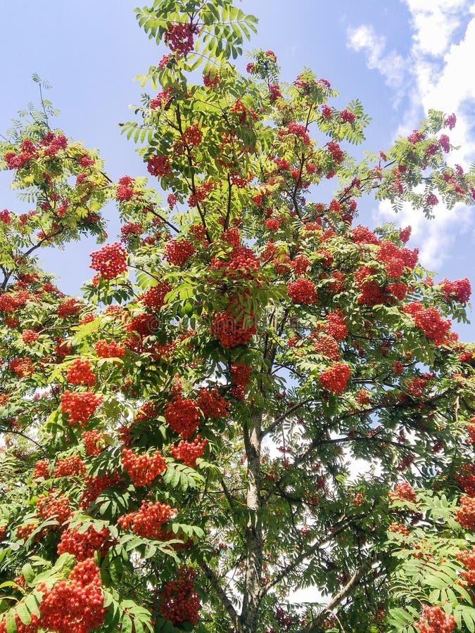Кисти ягод рояны стоковые фотографии rf