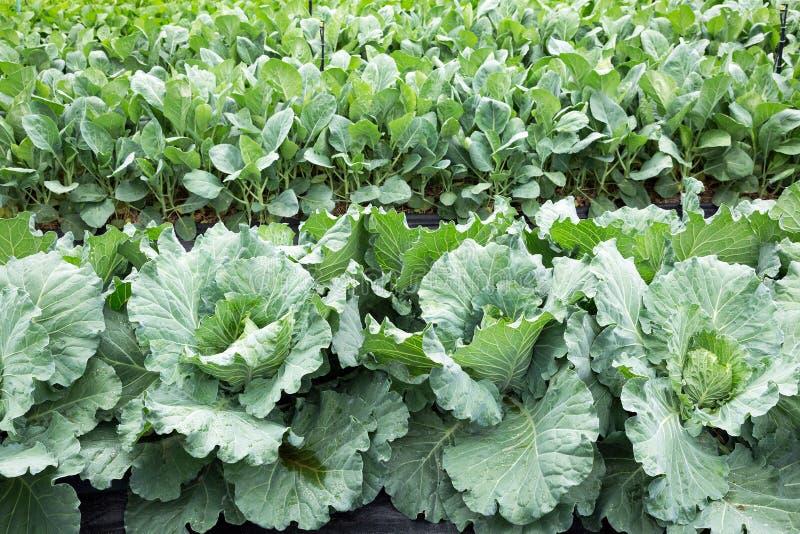 Китайская засаженные листовая капуста или китайская капуста стоковые фотографии rf
