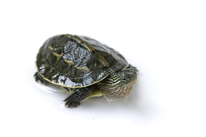 Китайская черепаха стоковая фотография