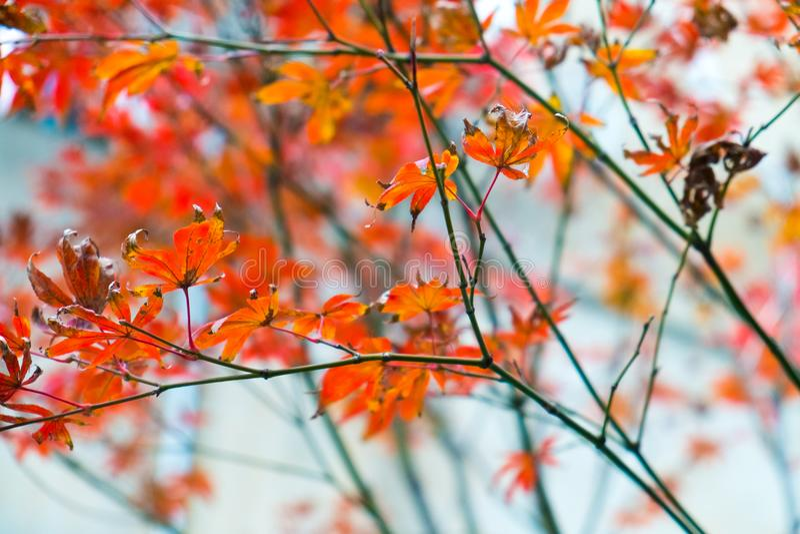 Китайские лист сезона осени стоковое фото