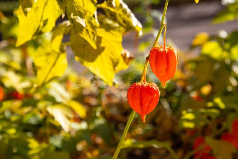 Китайские острова, Физалис алеккенги Physalis Alkekengi Franchetii ,bladder вишня, китайский фонарь, японско-фонарь стоковые изображения rf