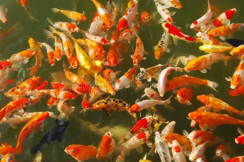 китайские рыбы стоковое фото rf