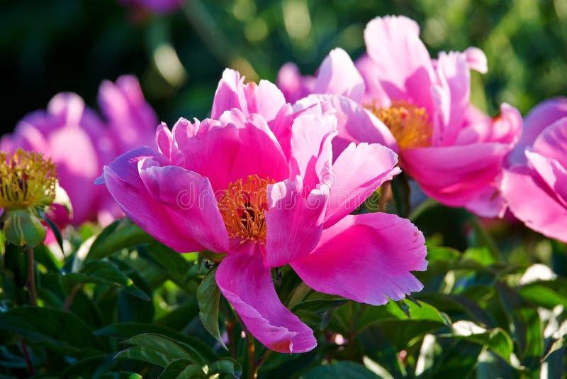 Китайские herbaceous цветки пиона в зацветать стоковая фотография rf