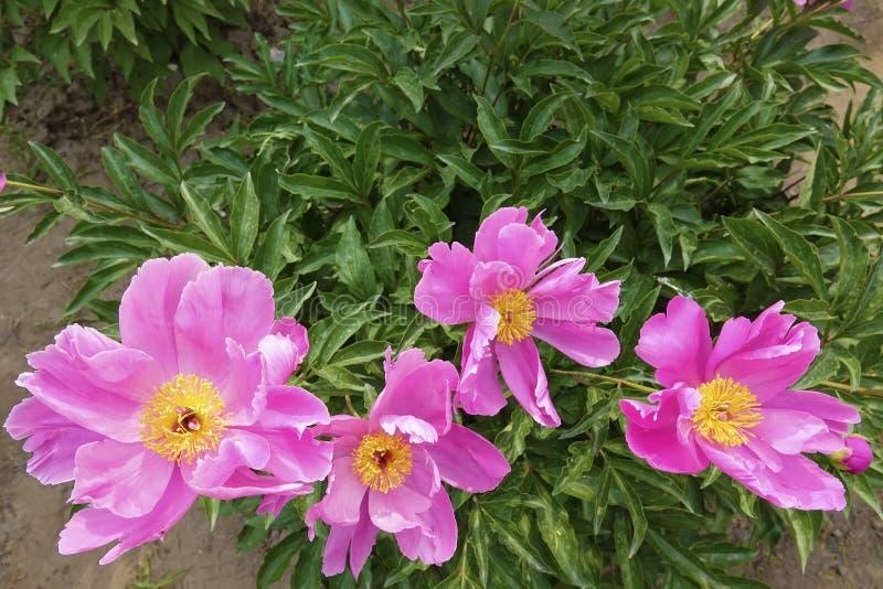 Китайские herbaceous цветки пиона стоковые фотографии rf