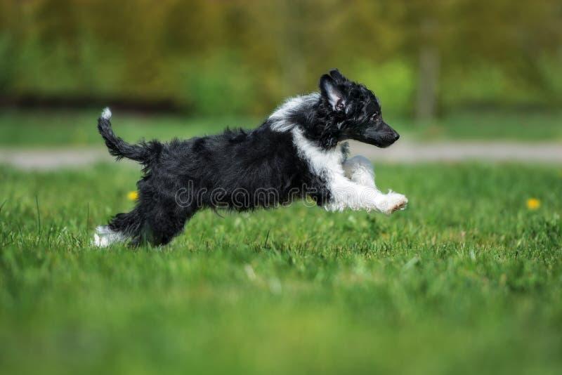 Китайский crested щенок бежать outdoors стоковое фото rf