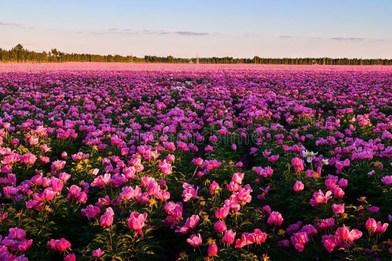 Китайский herbaceous пейзаж захода солнца цветка пиона стоковое фото