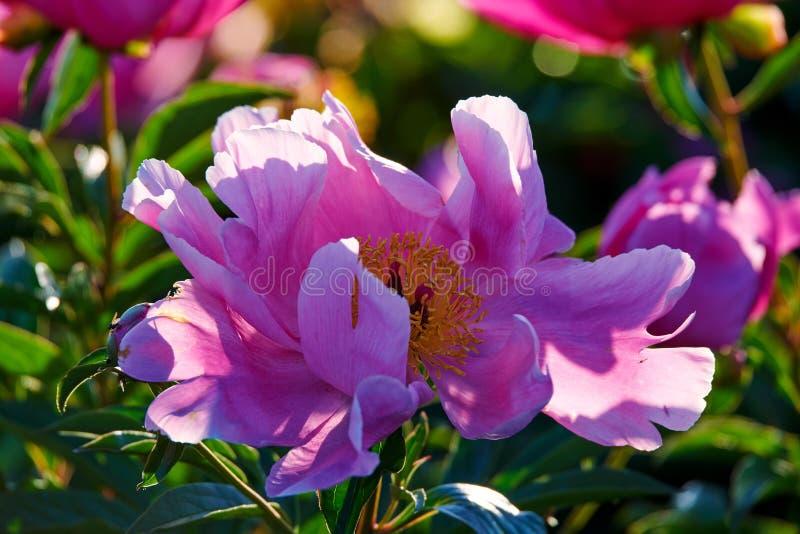Китайский herbaceous цветок пиона стоковая фотография