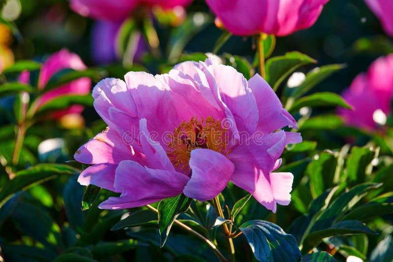 Китайский herbaceous цветок пиона стоковые фотографии rf