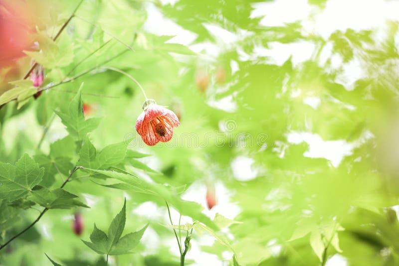 Китайское цветение дерева фонарика, глаз тигра, стоковая фотография