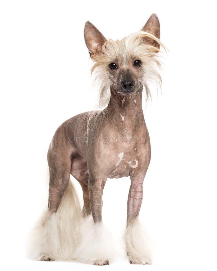 Китайское crested положение собаки стоковые изображения rf