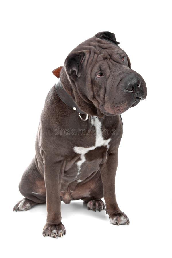 китайское pei собаки shar стоковая фотография