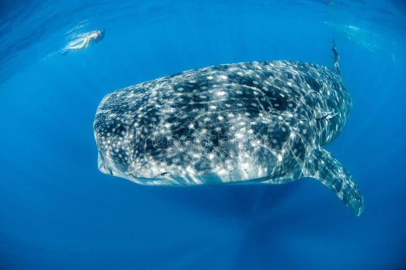 Китовая акула с Snorkeler стоковая фотография rf