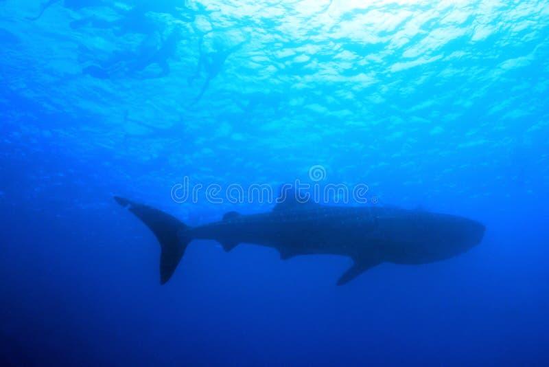 Китовая акула и Snorkelers стоковое изображение rf