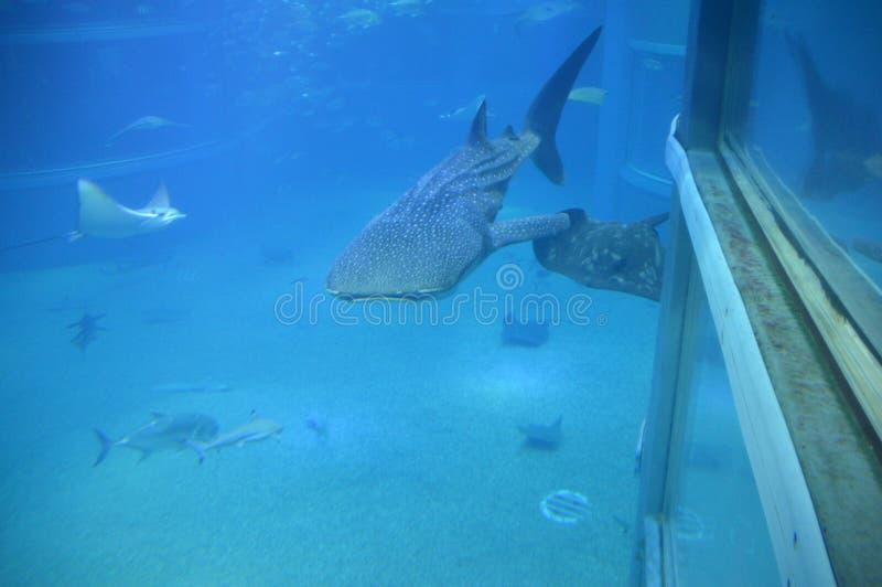Китовая акула на аквариуме Осака стоковое изображение rf
