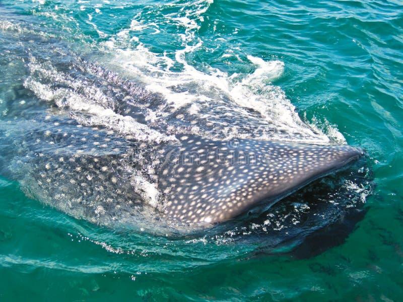 Китовая акула стоковая фотография