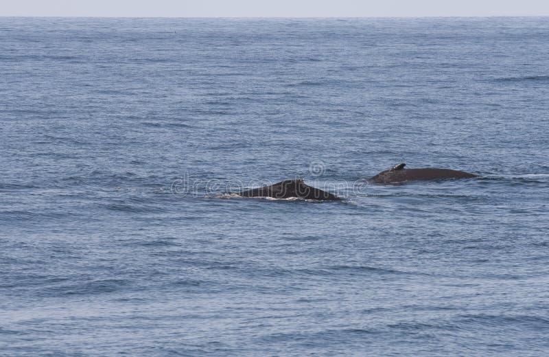 киты humpback стоковая фотография rf