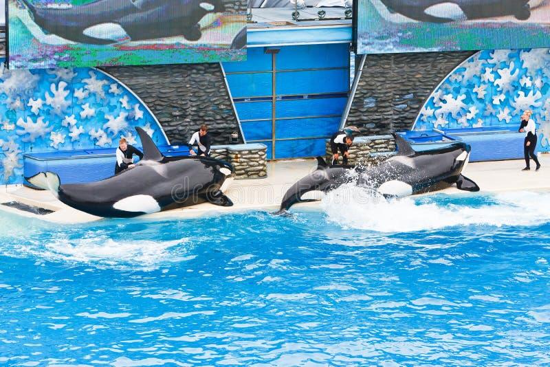 киты seaworld убийцы стоковые изображения rf