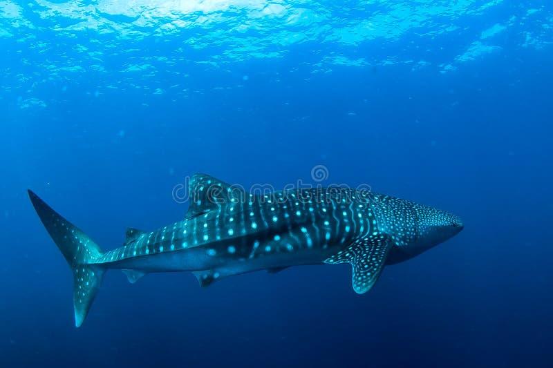 кит акулы стоковое фото
