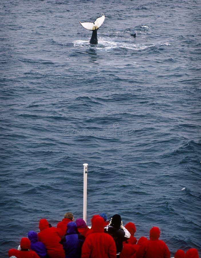 кит Антарктики наблюдая стоковое изображение