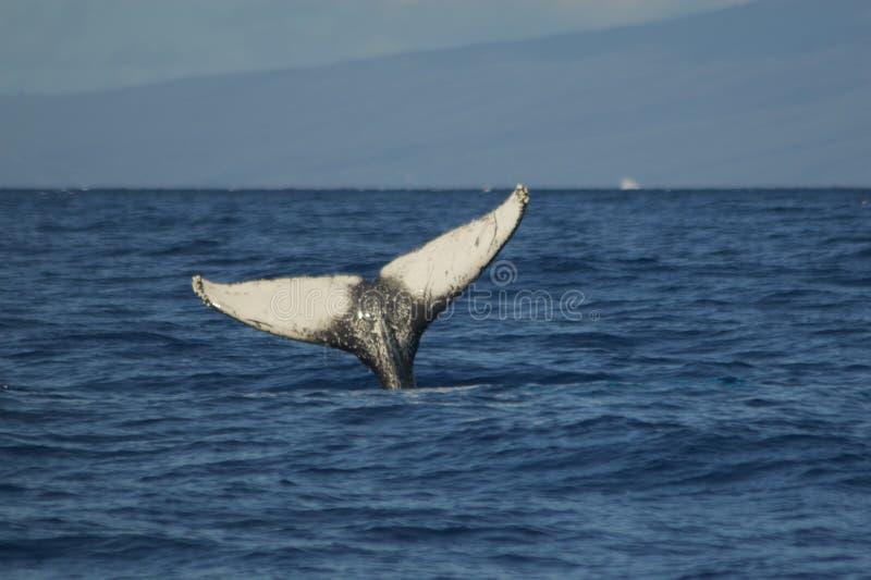 кит кабеля humpback стоковая фотография
