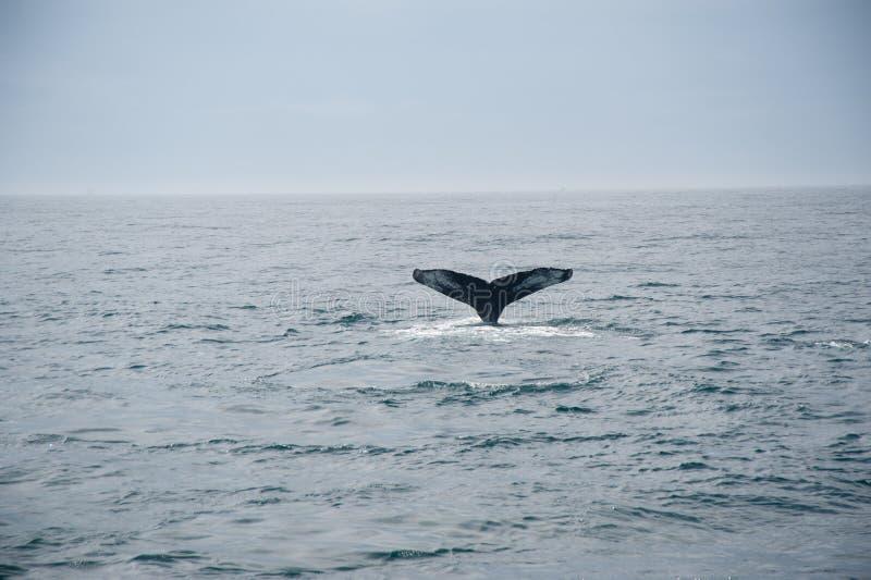 кит кабеля humpback стоковое изображение rf