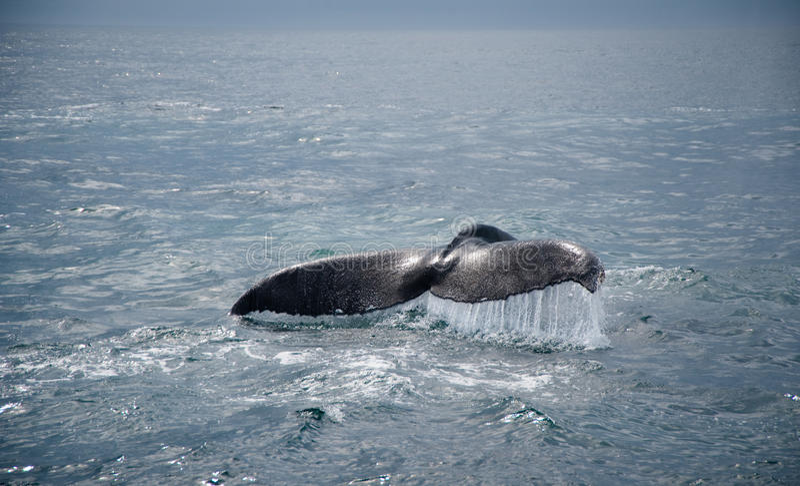 кит кабеля humpback стоковые фотографии rf