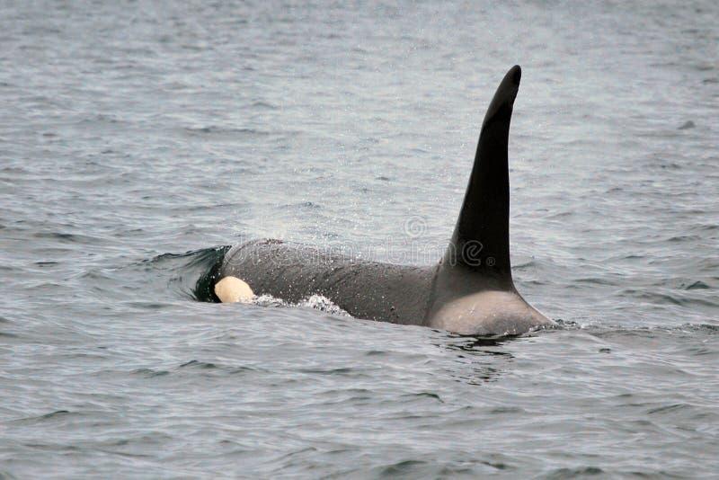 кит косатки убийцы стоковые фотографии rf