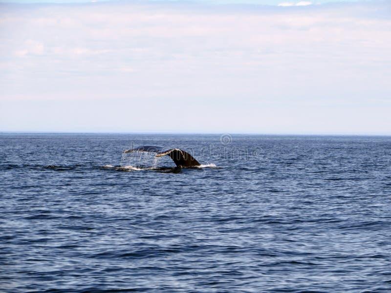 Кит наблюдая в открытом просмотре океана горбатый кита погружать в воду в воду стоковое изображение rf
