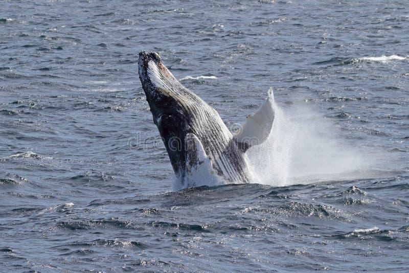 кит приантарктического humpback скача стоковая фотография rf