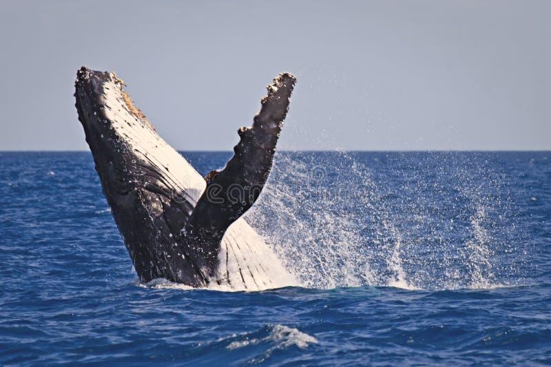 кит humpback пролома стоковая фотография rf