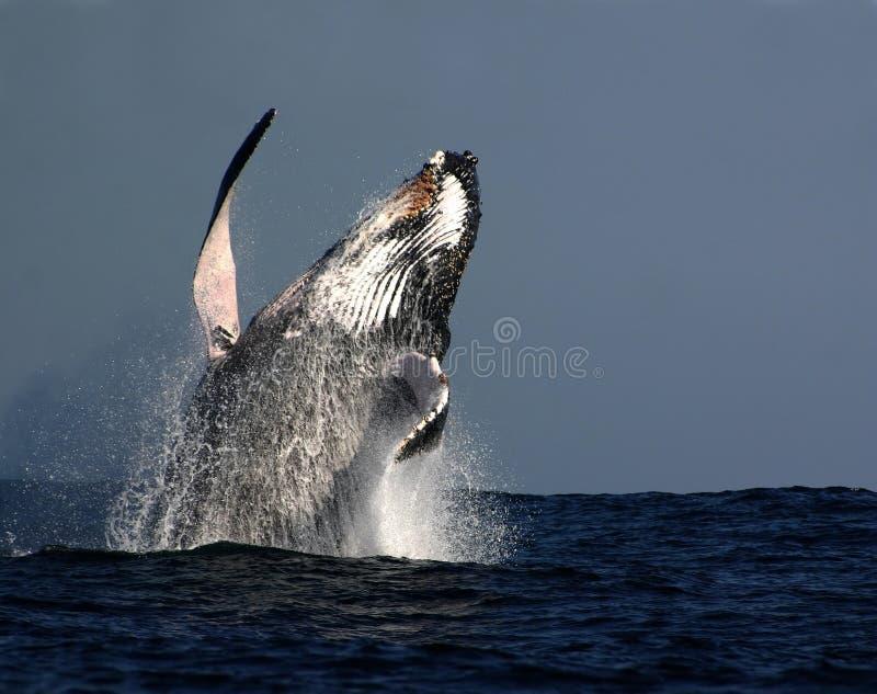кит humpback пролома стоковое изображение rf