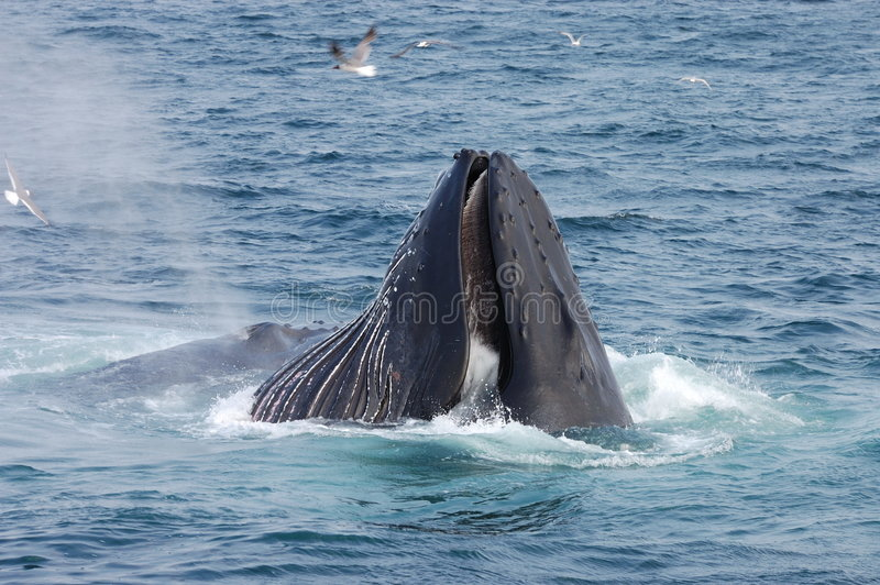 кит humpback стоковые фотографии rf