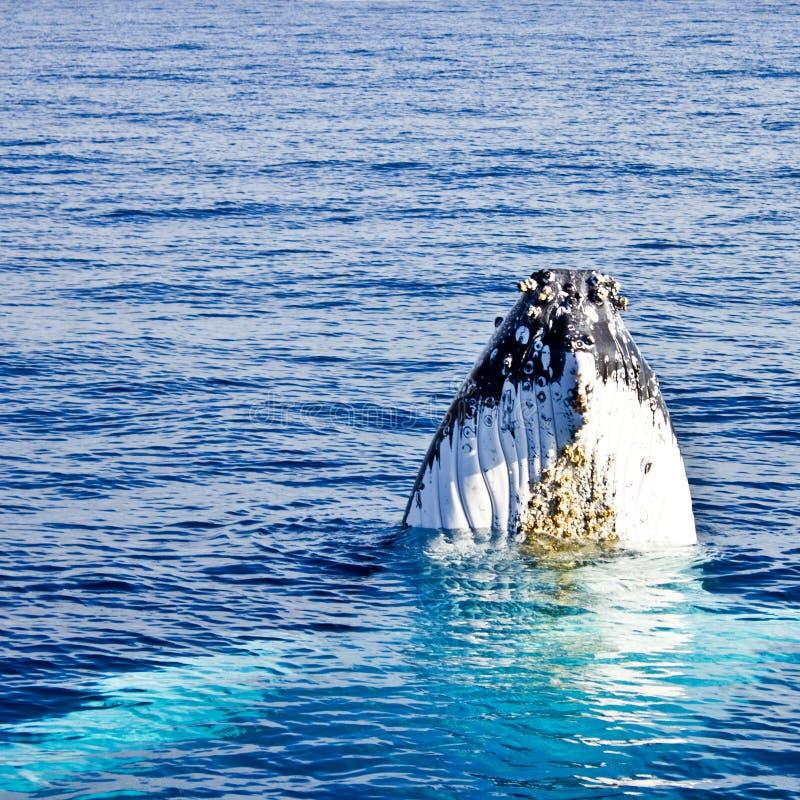 кит novaeangliae megaptera humpback стоковые изображения rf