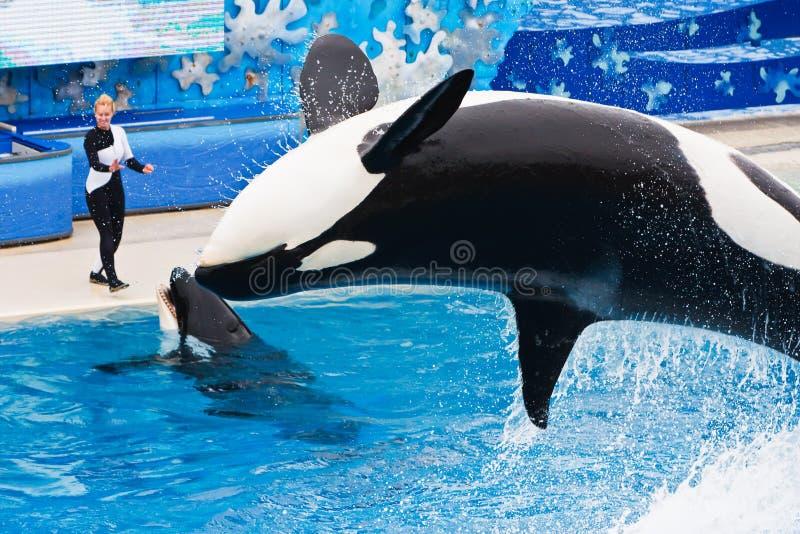 кит shamu seaworld убийцы стоковые изображения rf