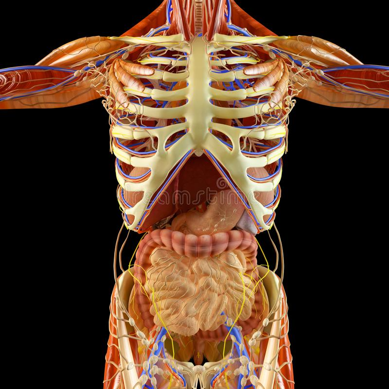 Кишечник, пищеварительная система, живот, esophagus, дуоденум, двоеточие с вытянутой тенью Человеческая анатомия иллюстрация штока