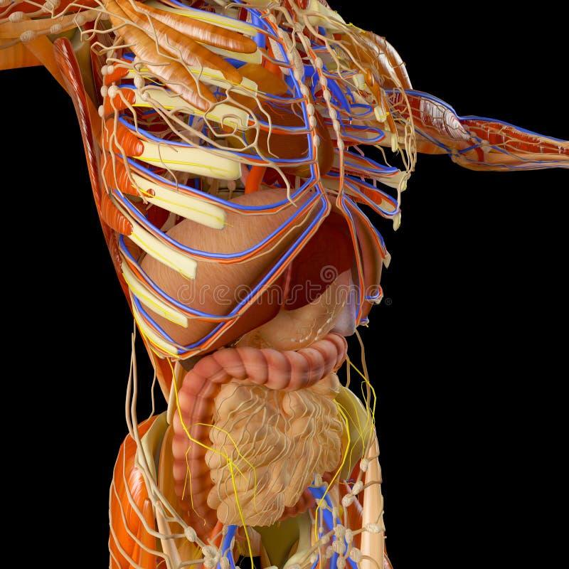 Кишечник, пищеварительная система, живот, esophagus, дуоденум, двоеточие с вытянутой тенью Человеческая анатомия иллюстрация вектора