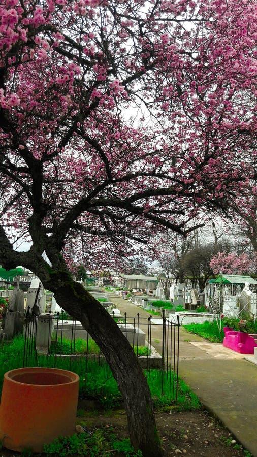 кладбище chillan, Чили, вишневое дерево стоковая фотография