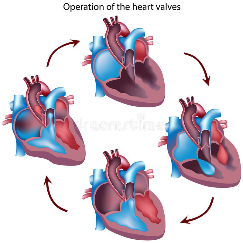 клапаны деятельности сердца иллюстрация вектора