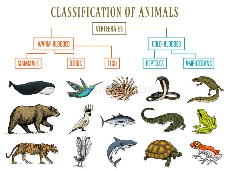 Классификация животных Птицы млекопитающих лодкамиамфибий гадов Лягушка змейки кита тигра медведя рыб крокодила Образование иллюстрация вектора
